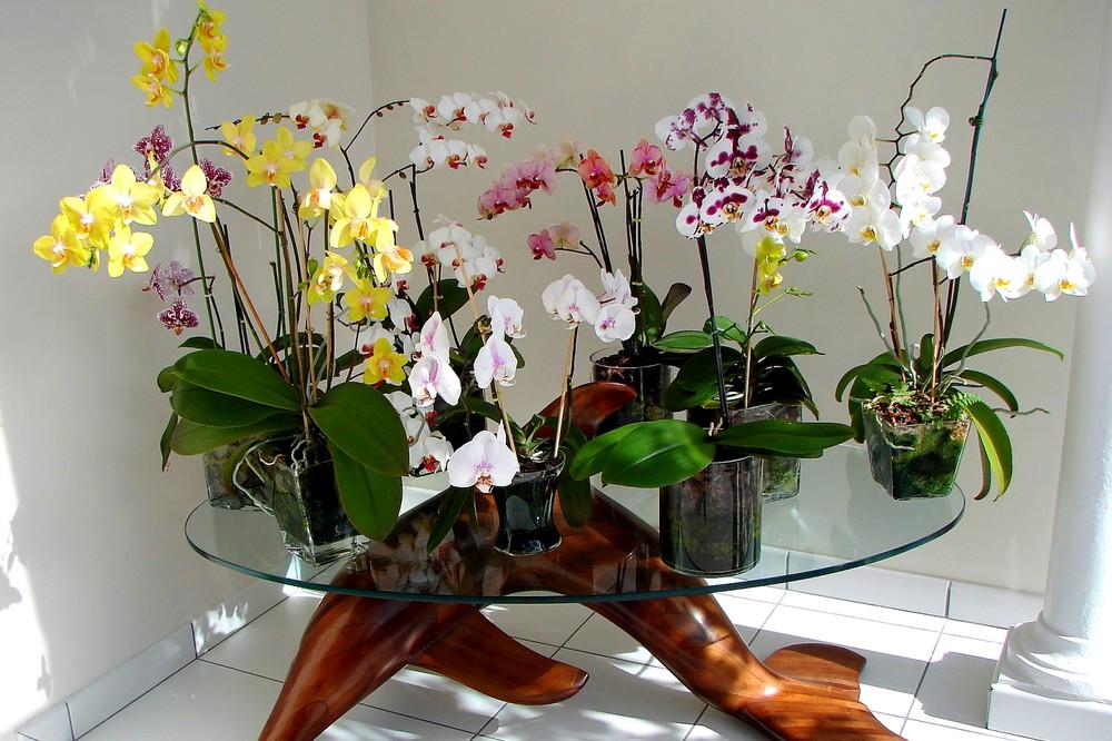 Comment réussir la culture des orchidées en pot à la maison ?